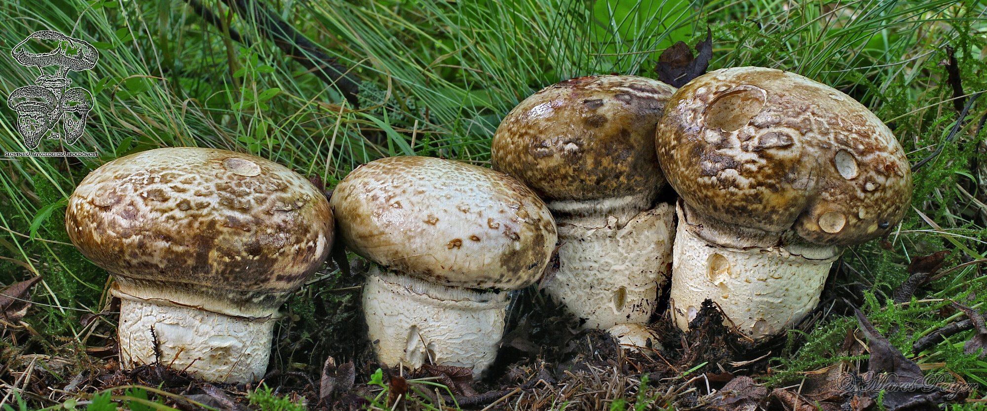 Slovenská mykologická spoločnosť